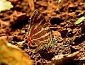 Common Silverline Spindasis vulcanus by Dr. Raju Kasambe DSCN0487 (8).jpg