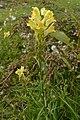 Common Toadflax (Linaria vulgaris) - Oslo, Norway 2020-09-16 (01).jpg