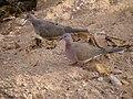 Common ground dove (8455655590).jpg