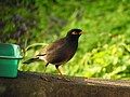 Common myna 8 (Acridotheres tristis) നാട്ടുമൈന .jpg