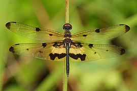 Common picture wing (Rhyothemis variegata) 07554.jpg