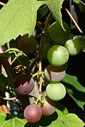 Concord grapes in the backyard just beginning to ripen.jpg