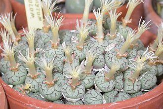 Conophytum minimum - Conophytum minimum having flowered.
