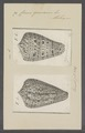 Conus genuanus - - Print - Iconographia Zoologica - Special Collections University of Amsterdam - UBAINV0274 086 02 0049.tif