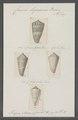 Conus lignarius - - Print - Iconographia Zoologica - Special Collections University of Amsterdam - UBAINV0274 087 01 0022.tif
