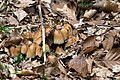 Coprinellus micaceus - 2017-04-24 - Schwalenberger Wald (19).jpg