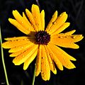 Coreopsis floridana with Dew Drops (8253554249).jpg