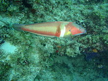 Coris auricuaris m King wrasse PC079049.JPG
