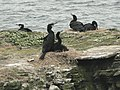 Cormorants nesting on The Brough - geograph.org.uk - 214395.jpg
