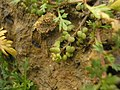 Coronopus squamatus fruits (01).jpg