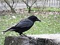 Corvus corone -Beaumont Park, Plymouth, Devon, England-8a.jpg