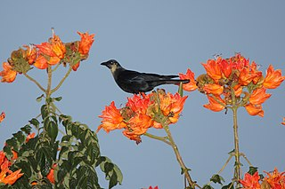 Sinaloa crow species of bird
