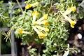 Corydalis lutea 10zz.jpg