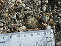 Coryphantha delicata (5686653032).jpg