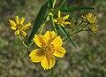 Cosmos à fleurs jaunes FR 2014.jpg