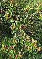 Cotoneaster divaricatus kz02.jpg