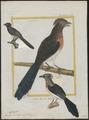 Coua cristata - 1700-1880 - Print - Iconographia Zoologica - Special Collections University of Amsterdam - UBA01 IZ18800111.tif