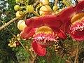 Couroupita guianensis - Cannon Ball Tree at Peravoor (2).jpg