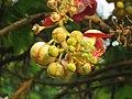 Couroupita guianensis - Cannon Ball Tree at Peravoor (39).jpg