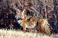 Coyote (30975514716).jpg