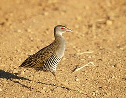 African Crake running to right in dry grassland