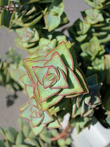 Crassula - Chi Crassula 220px Crassula rupestris x perforata  28baby necklace 291