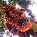 Crataegus mexicana fl.jpg