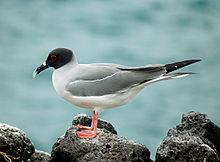 Creagrus furcatus -Galapagos-saaret-8.jpg
