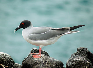 Swallow-tailed gull The only nocturnal species of seabird in the world