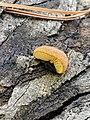 Crepidotus crocophyllus 56253231.jpg