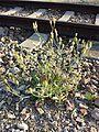 Crepis foetida subsp. rhoeadifolia sl1.jpg