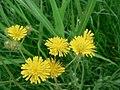 Crepis setosa inflorescence (04).jpg