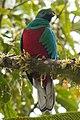 Crested Quetzal Ecuador.jpg
