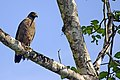Crested serpent eagle (Spilornis cheela) from the Anaimalai hills JEG3817.jpg
