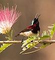 Crimson backed Sunbird AMSM9704.jpg