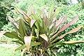 Crinum procerum 2zz.jpg