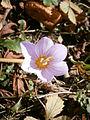 Crocus kotschyanus flowers4.jpg