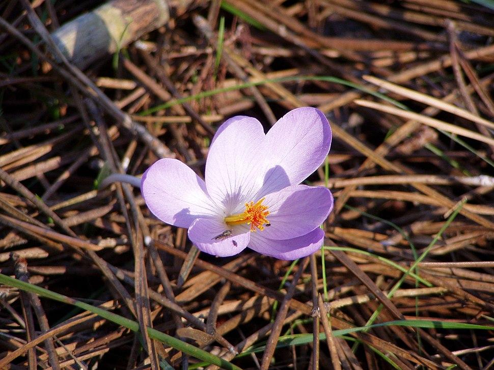 Crocus serotinus clusii flower