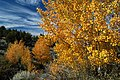 Crooked River National Grassland Fall color aspen (36456343601).jpg