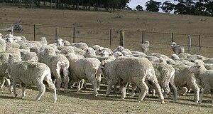 Crutching - Freshly crutched and wigged Merino sheep.