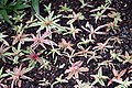 Cryptanthus bivittatus Pink Starlite 4zz.jpg