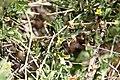 Cucumis africanus-1527 - Flickr - Ragnhild & Neil Crawford.jpg