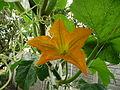 "Cucurbita pepo ""zapallo de Angola"" semillería La Paulita - 2015 01 07 - poema de zapallos, flor masculina.JPG"