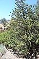 Cupressus nevadensis Hobo Ridge Grove (9) - Flickr - theforestprimeval.jpg