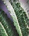 Cyathea robusta (Pinnules).jpg