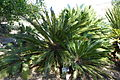 Cycas revoluta - Leaning Pine Arboretum - DSC05545.JPG