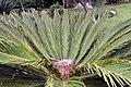 Cycas revoluta 26zz.jpg