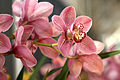 Cymbidium Kirby Lesh at the Pacific Orchid Exposition 2010.jpg