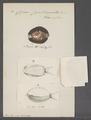 Cypraea caputserpentis - - Print - Iconographia Zoologica - Special Collections University of Amsterdam - UBAINV0274 088 02 0045A.tif