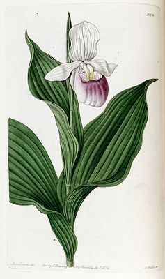Cypripedium reginae (as Cypripedium spectabile) - Edwards vol 20 pl 1666 (1835).jpg
